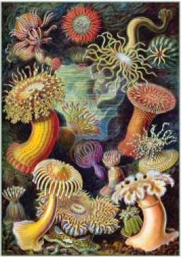 Image of Ernst Haeckel Art Forms In Nature Print : Small A4