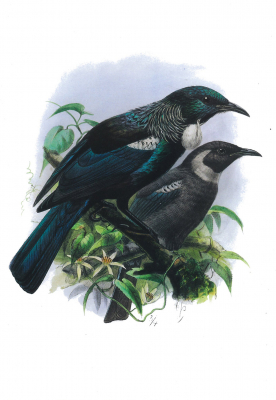 Image of New Zealand Tui : A4 Poster