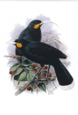 Image of New Zealand Huia : A4 Poster