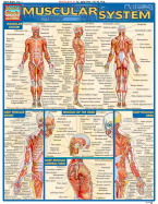 Image of Muscular System : Laminated Reference Chart