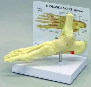 Image of Foot And Ankle Model