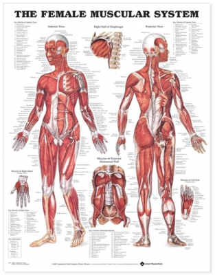 Image of Female Muscular System Chart : Heavy Paper